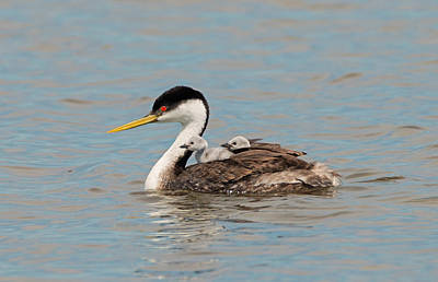 Photograph - Grebe Family Outing by Loree Johnson