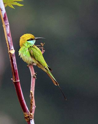 Bangalore Photograph - Green Bee-eater by Sushil Kumar Katre