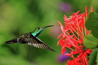 Green-breasted Mango Hummingbird, Costa Art Print by Adam Jones