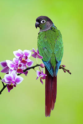 Photograph - Green Cheecked Conure Sitting In by Gail Shumway