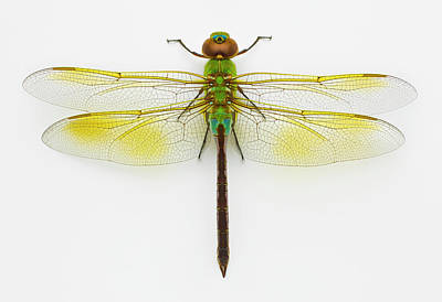 Photograph - Green Darner Anax Junius On White by Don Farrall