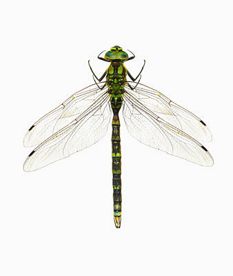 Photograph - Green Dragonfly Against White by Kevin Summers