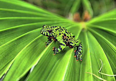 Photograph - Green Frog by Jeff R Clow