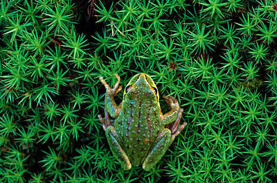 Photograph - Green Frog Rana Clamitans Washington by Gavriel Jecan