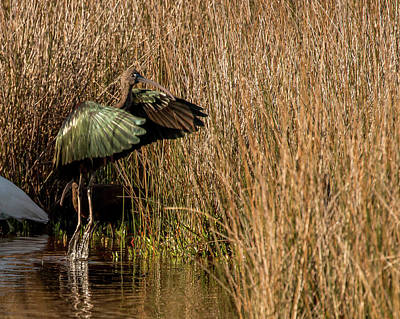 Photograph - Green Ibis by Dorothy Cunningham