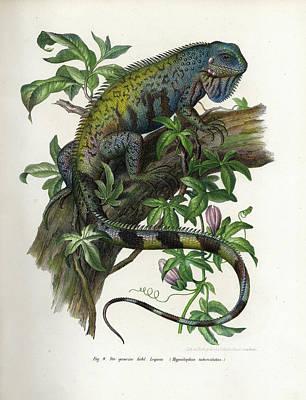 Iguana Wall Art - Painting - Green Iguana by Leopold Fitzinger