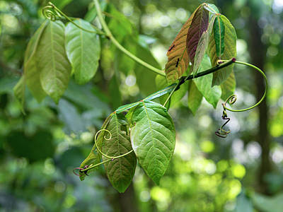 Royalty-Free and Rights-Managed Images - Green Jungle Vine Plant  by Betsy Knapp