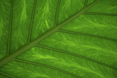 Photograph - Green Leaf Markings I by Helen Northcott