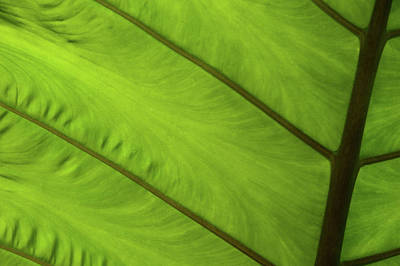 Photograph - Green Leaf Markings Iv by Helen Northcott