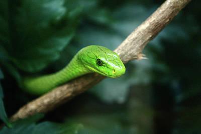 Reptiles Royalty-Free and Rights-Managed Images - Green Mamba   by Aidan Moran