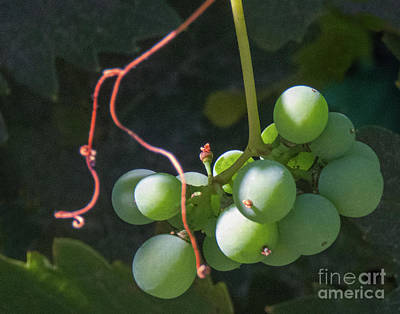 Photograph - Green On The Vine by Cheryl Del Toro