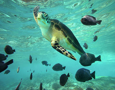 Photograph - Green Sea Turtle Chelonia Mydas by Tim Fitzharris/ Minden Pictures