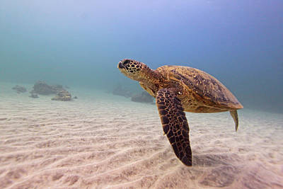 Photograph - Green Sea Turtle by Chris Stankis