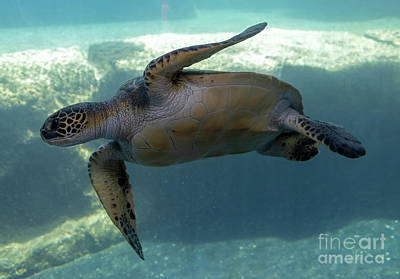 Reptiles Royalty-Free and Rights-Managed Images - Green Sea Turtle by Mike Dawson
