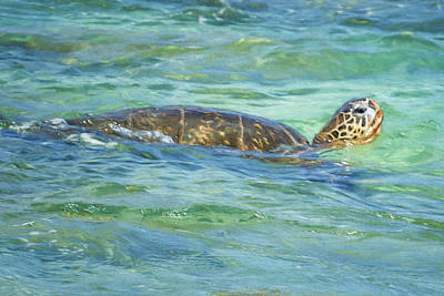 Photograph - Green Sea Turtle Swimming Painterly by Belinda Greb