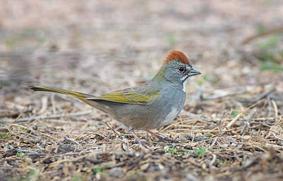 Photograph - Green Tailed Towhee by Loree Johnson