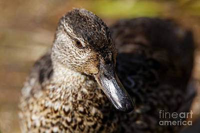Photograph - Green Teal Duck by Sue Harper