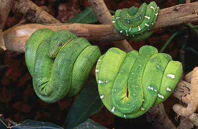 Photograph - Green Tree Python Morelia Viridis World by Christopher P. Baker