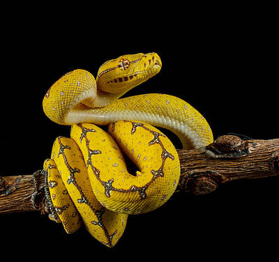 Photograph - Green Tree Python Ready To Strike by Johnstarkeyphotography