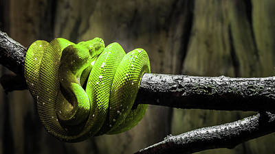 Photograph - Green Tree Viper by Jeanette Fellows