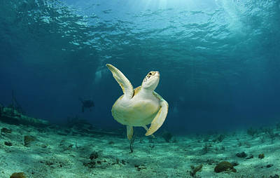 Organism Wall Art - Photograph - Green Turtle Chelonia Mydas Swimming by Stephen Frink