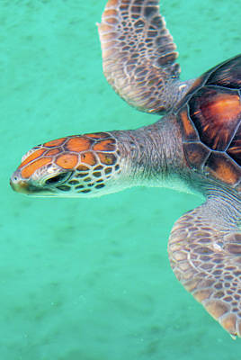 Photograph - Green Turtle by I Love Photo And Apple.