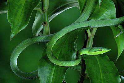 Photograph - Green Vine Snake Oxybelis Fulgidus by Michael & Patricia Fogden/ Minden Pictures
