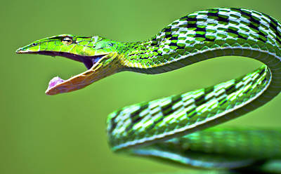 Photograph - Green Vine Snake by Ravikanth Photography