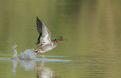 Photograph - Green-winged Teal Duck 9434-111118-1cr by Tam Ryan