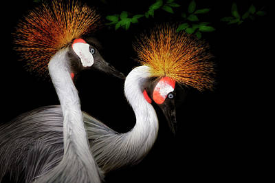 Photograph - Grey Crowned Crane - African Birds - Endangered by Jason Politte