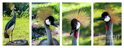 Photograph - Grey Crowned Crane Gulf Shores Al Collage 1 by Ricardos Creations