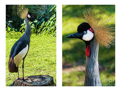 Photograph - Grey Crowned Crane Gulf Shores Al Collage 10 Diptych by Ricardos Creations
