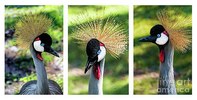 Photograph - Grey Crowned Crane Gulf Shores Al Collage 2 Triptych by Ricardos Creations