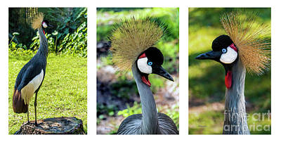 Photograph - Grey Crowned Crane Gulf Shores Al Collage 6 Triptych by Ricardos Creations