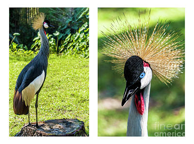 Photograph - Grey Crowned Crane Gulf Shores Al Collage 8 Diptych by Ricardos Creations