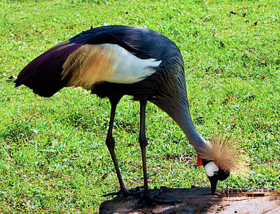 Photograph - Gray Crowned Crane Gulf Shores F13119b by Mas Art Studio