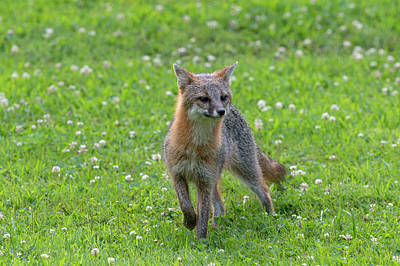Photograph - Grey Fox Curious What Is Going On by Dan Friend