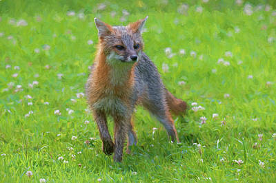 Photograph - Grey Fox Curious What Is Going On Paintography by Dan Friend