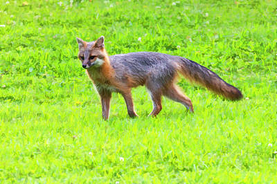 Photograph - Grey Fox In A Lawn Paintograqphy by Dan Friend