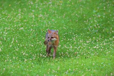 Photograph - Grey Fox In Field Of Clover Looking Paintgraphy by Dan Friend