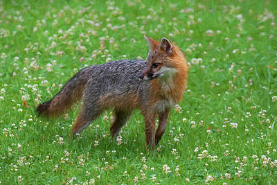Photograph - Grey Fox In Field Of Clover  Paintography by Dan Friend