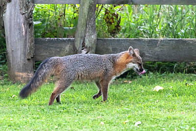 Photograph - Grey Fox Licking His Chops by Dan Friend