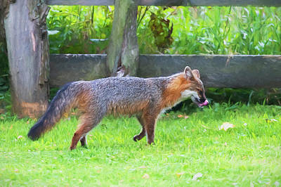 Photograph - Grey Fox Licking His Chops Paintography by Dan Friend
