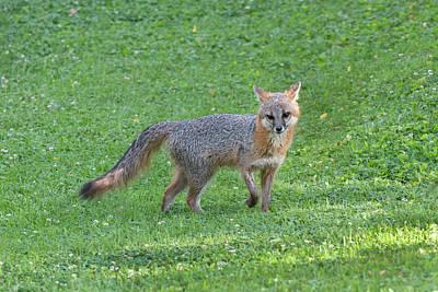 Photograph - Grey Fox Looking Pretty Cool In A Yard by Dan Friend