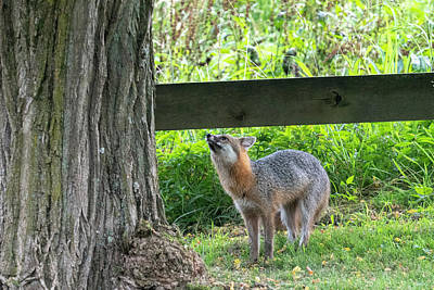 Photograph - Grey Fox Looking Up A Tree by Dan Friend
