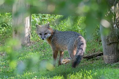 Photograph - Grey Fox Near A Fence Looking Back by Dan Friend