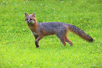 Photograph - Grey Fox Peering Over The Landscape Paintography by Dan Friend