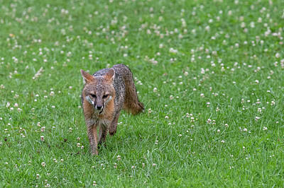 Photograph - Grey Fox Running Forward In Clover Field by Dan Friend