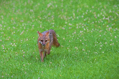 Photograph - Grey Fox Running Forward In Clover Field Paintography by Dan Friend