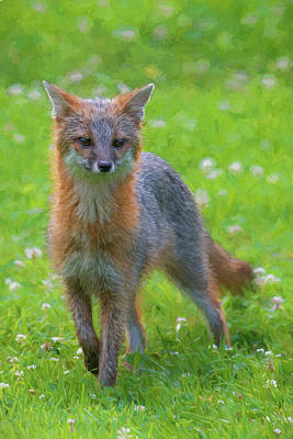Photograph - Grey Fox Staring Straight Ahead Paintography by Dan Friend